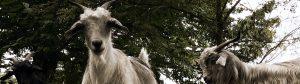 Cashmere Goats Header