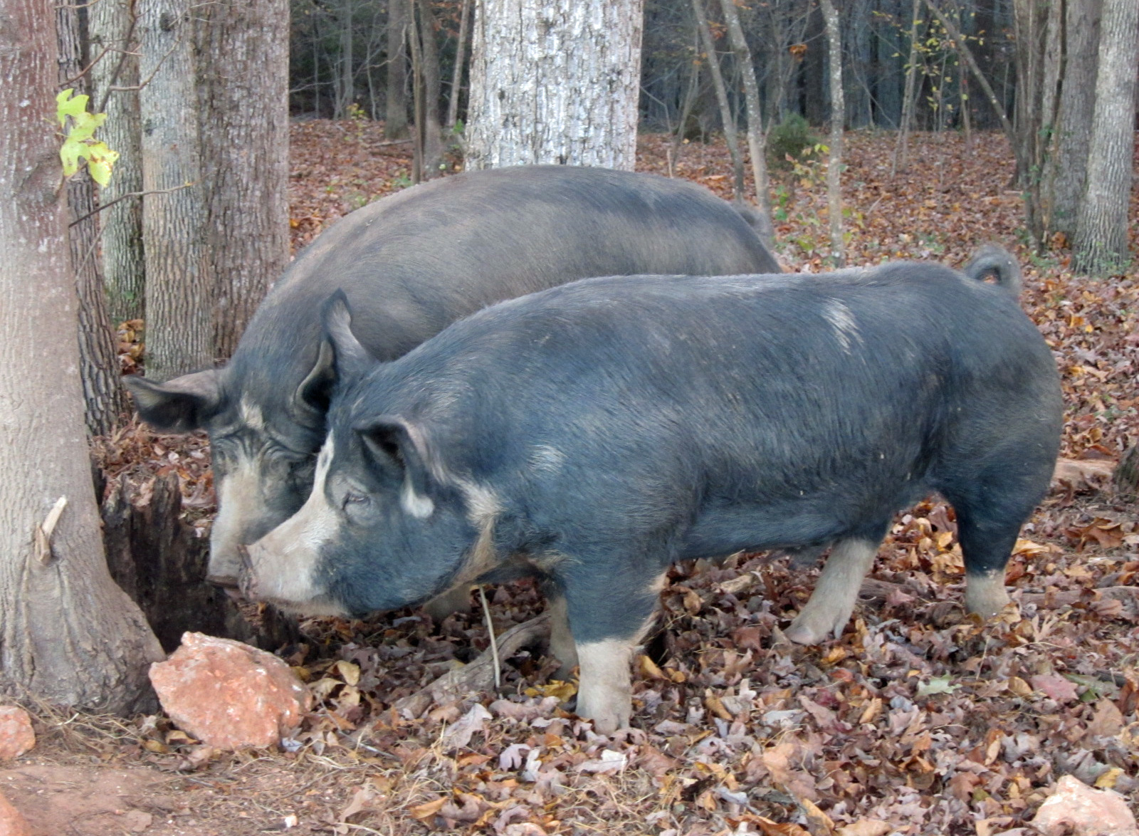 Boris and Biggie of WhyNot Farm
