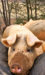 Pigs at WhyNot Farm on Snow Creek