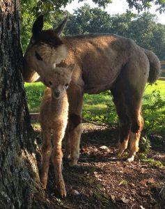 Ruggine and Darren - WhyNot Farm Alpacas