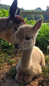Ruggine and Darren - WhyNot Farm Alpacas
